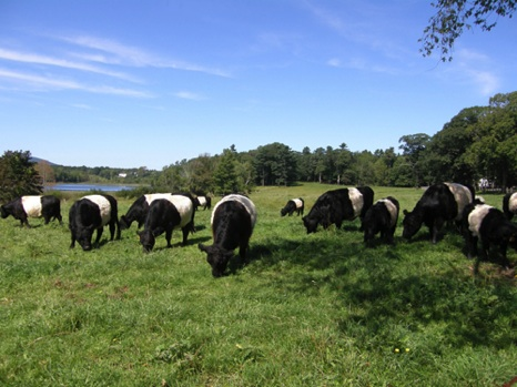 Belted Galloways - NHP06